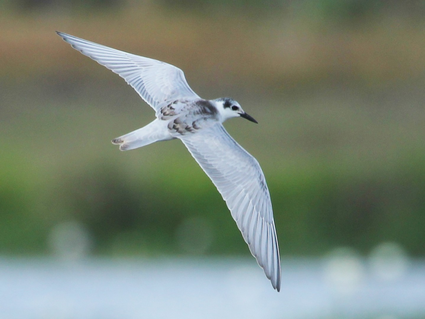 White-winged Tern - Benjamin Harms