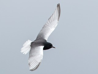 - White-winged Tern