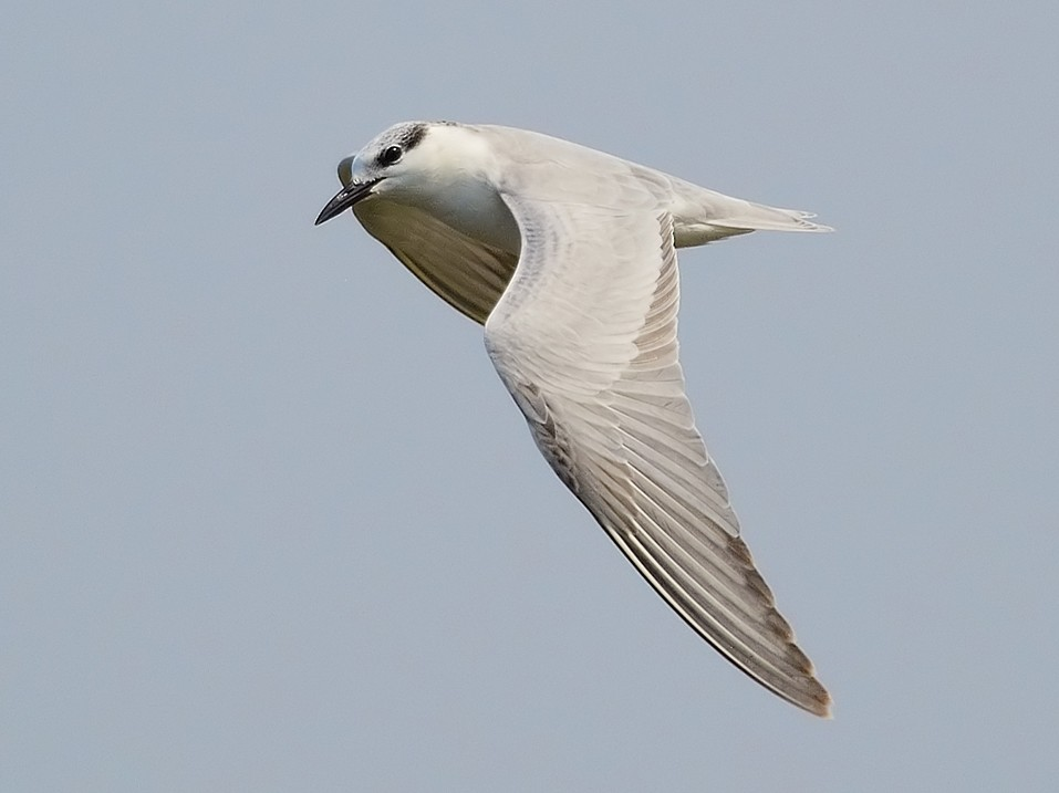 Whiskered Tern - Jerry Ting