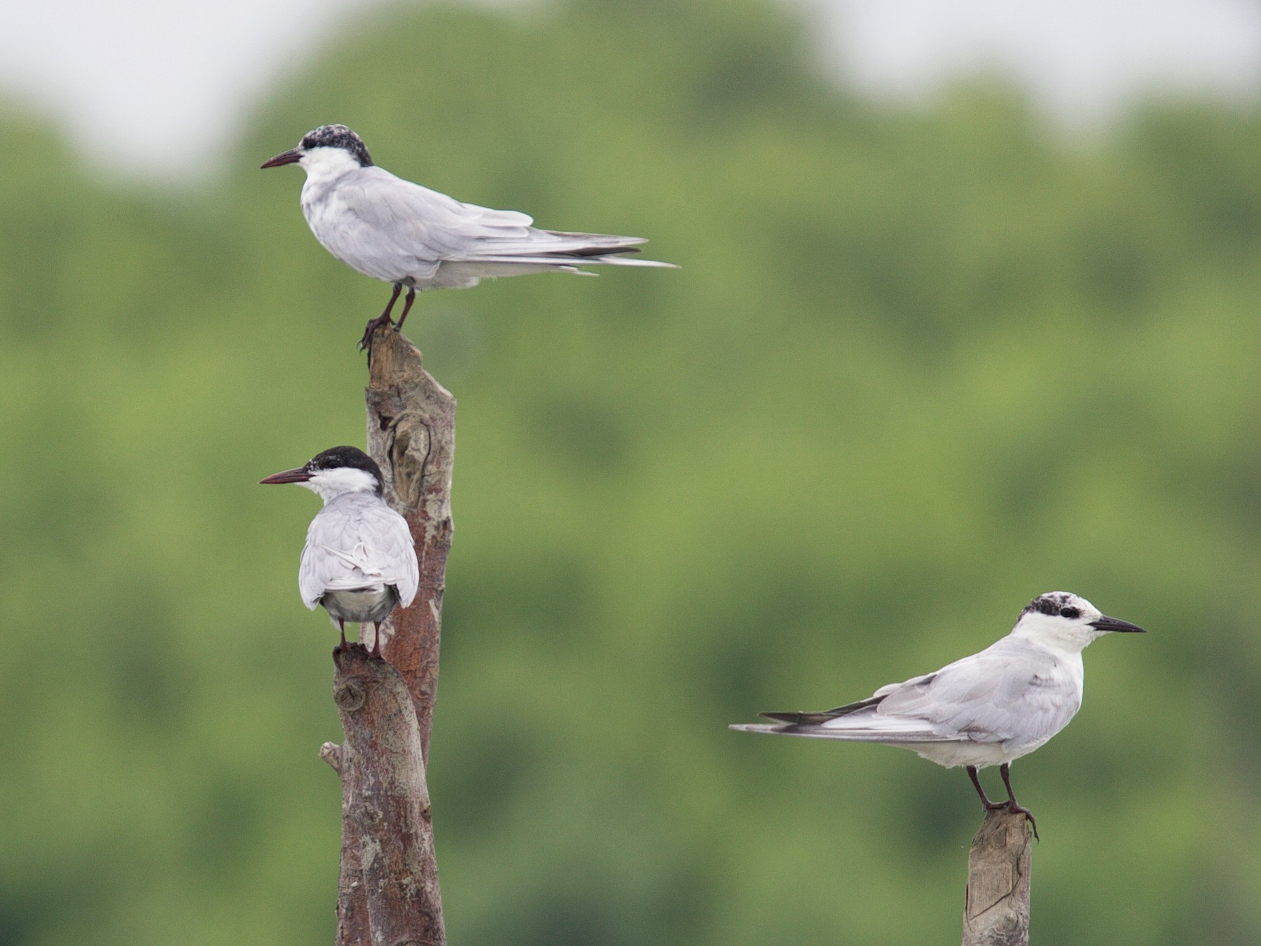 Whiskered Tern - Matt Brady