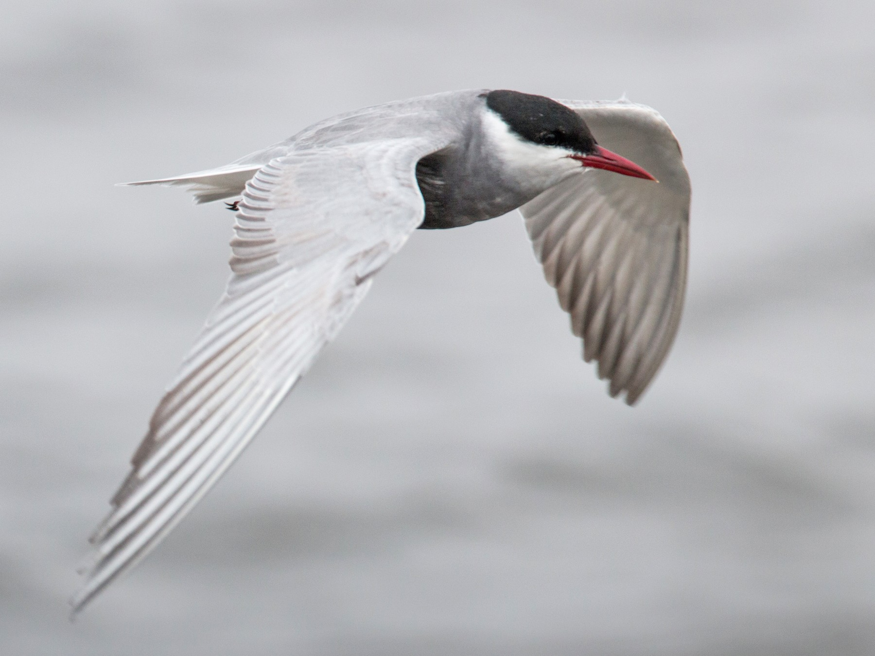 Whiskered Tern - Ian Davies