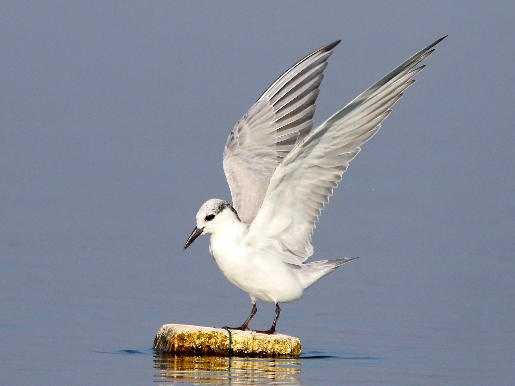 Whiskered Tern - Sneha Gupta
