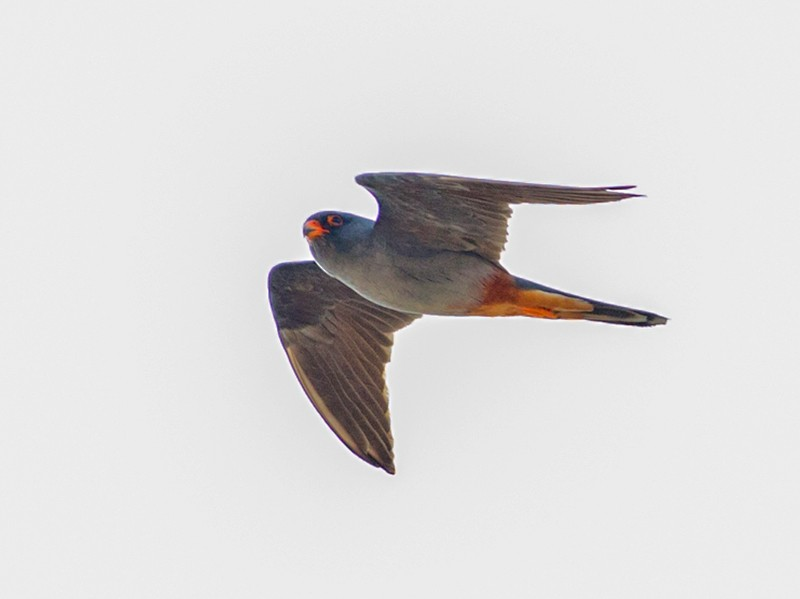 Red-footed Falcon - Doug Gochfeld