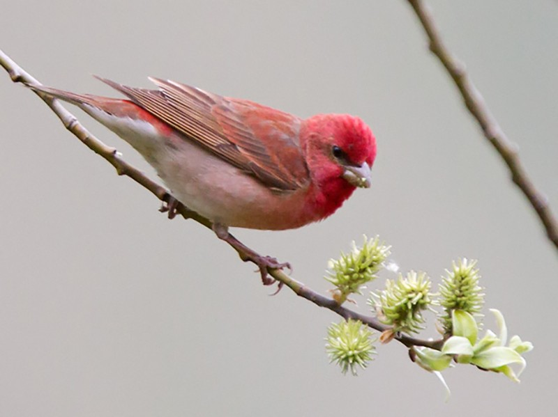 Common Rosefinch - Yann Kolbeinsson