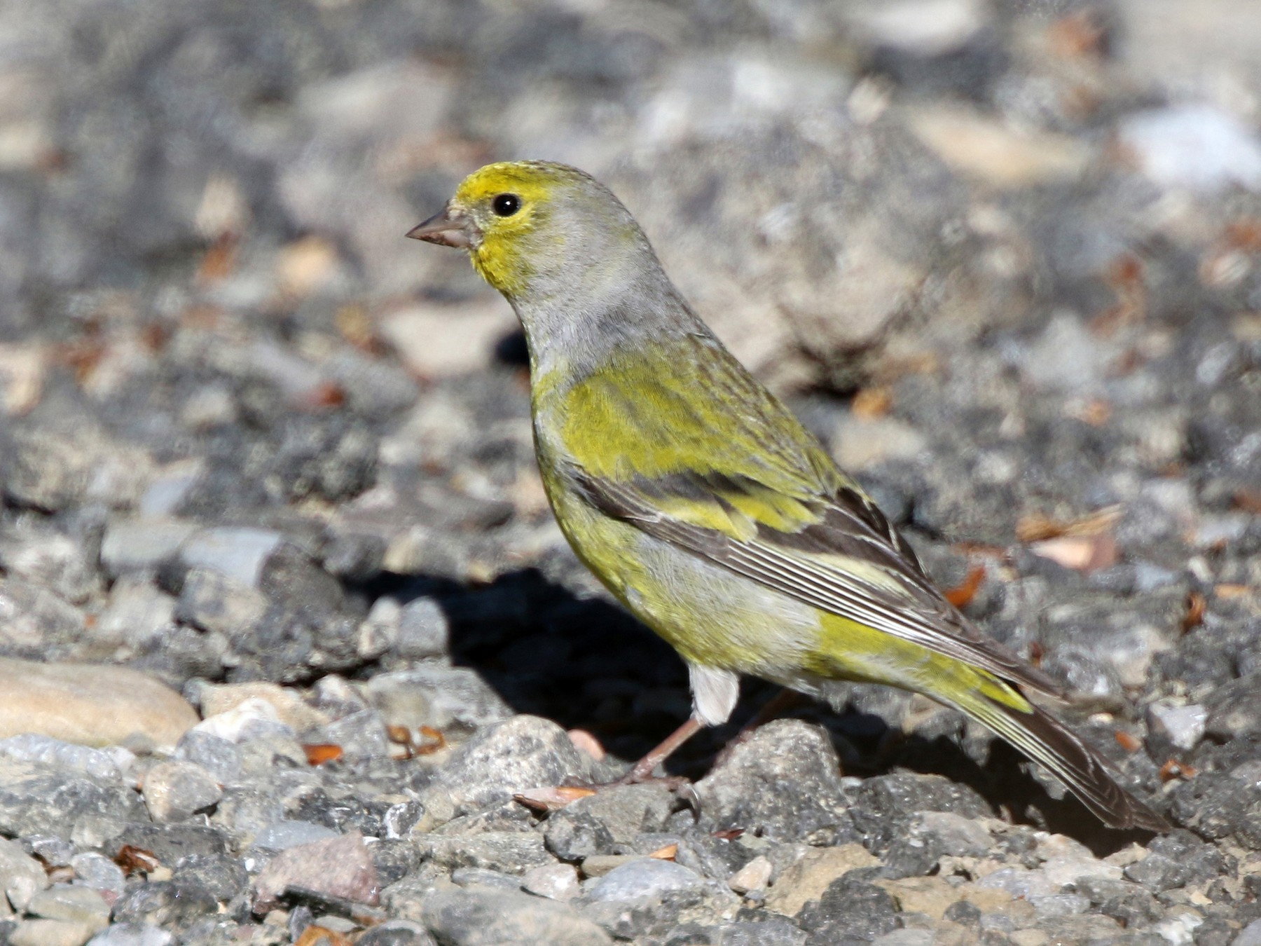 Citril Finch - Daniel Jauvin
