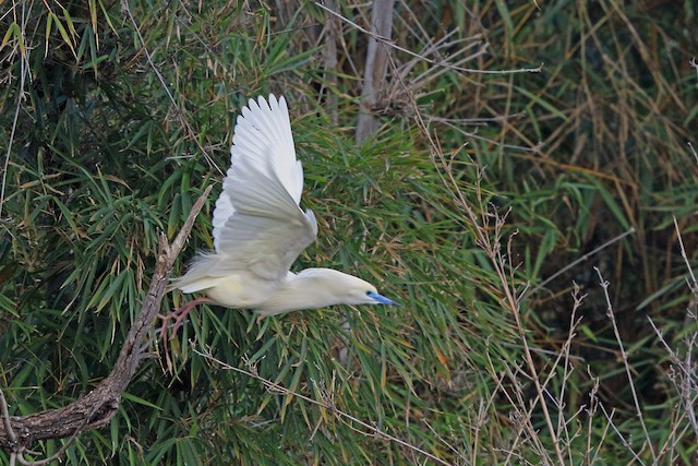 Malagasy Pond-Heron