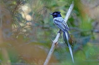 - Malagasy Paradise-Flycatcher (Malagasy)