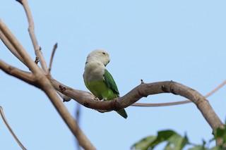 - Gray-headed Lovebird