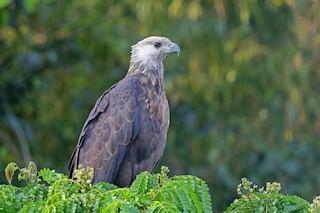 - Madagascar Fish-Eagle
