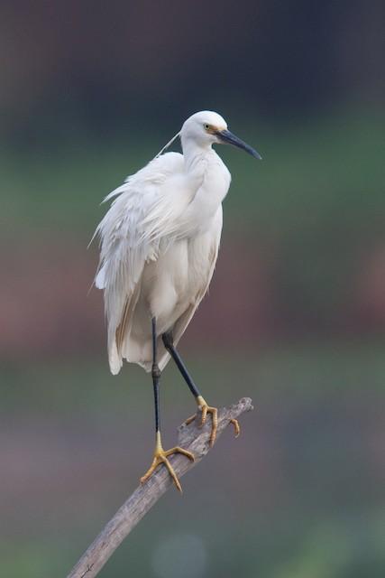 Little Egret (Dimorphic)