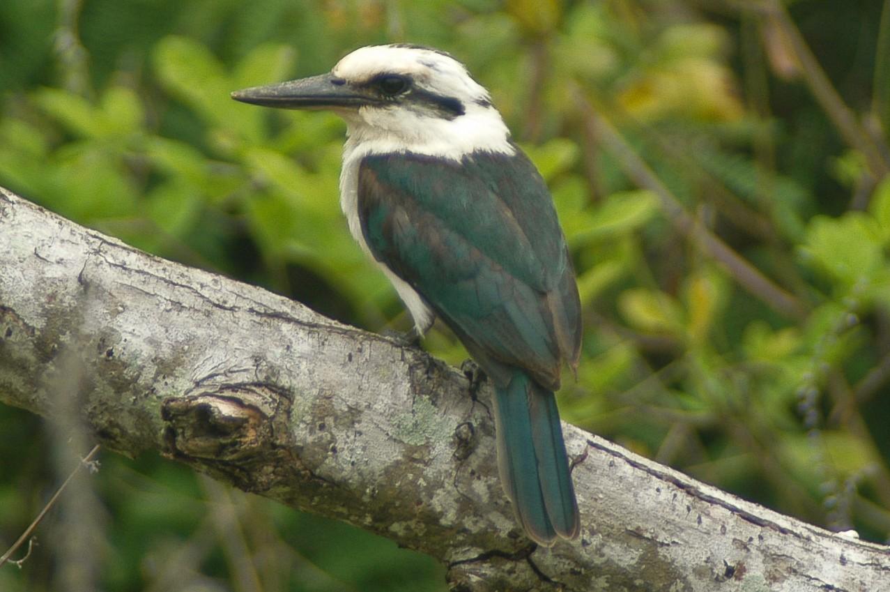 Chattering Kingfisher - Eric VanderWerf