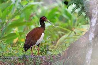- Madagascar Ibis