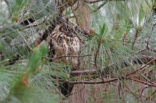 - Madagascar Owl