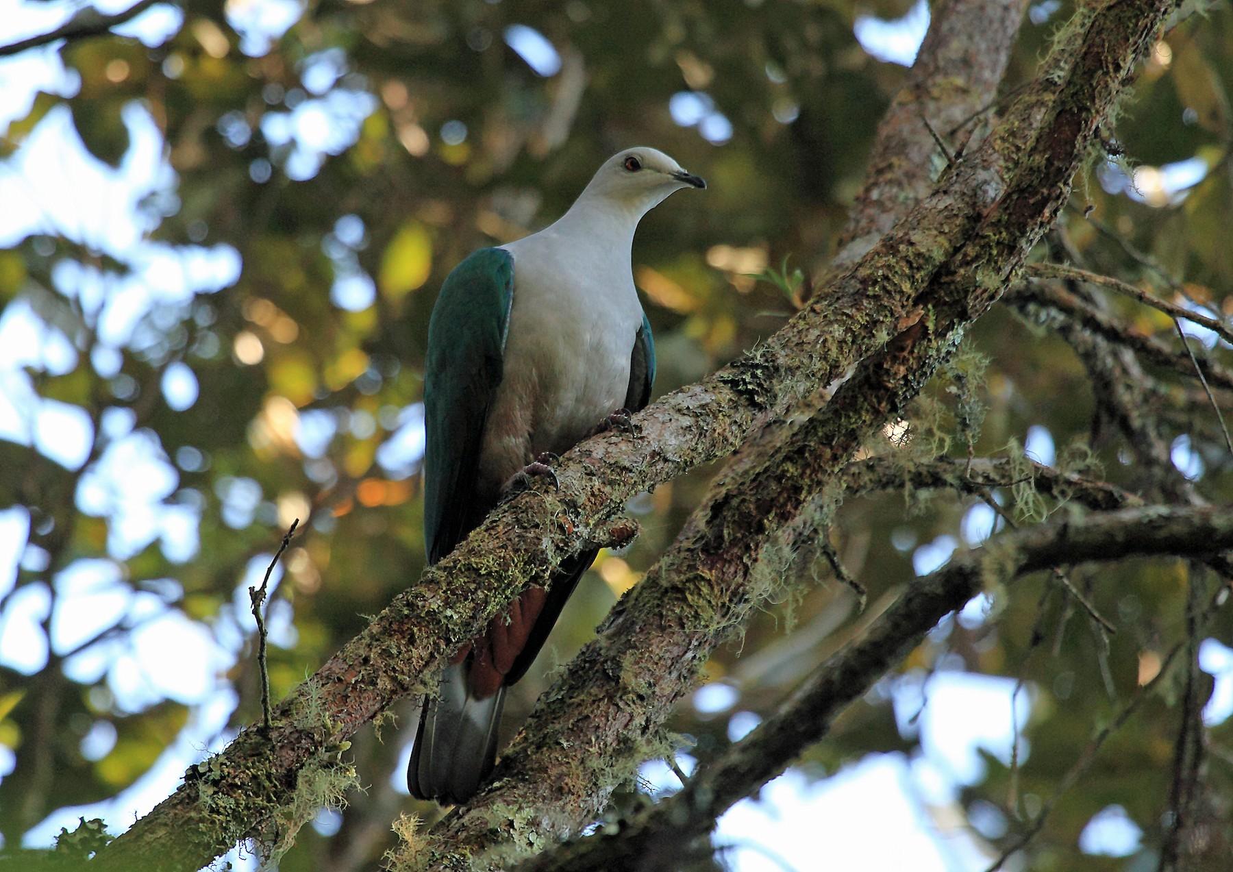 Gray-headed Imperial-Pigeon - Nigel Voaden