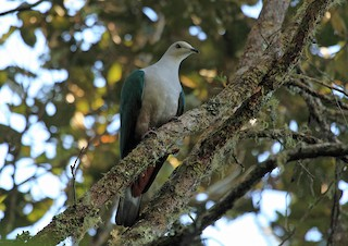 - Gray-headed Imperial-Pigeon