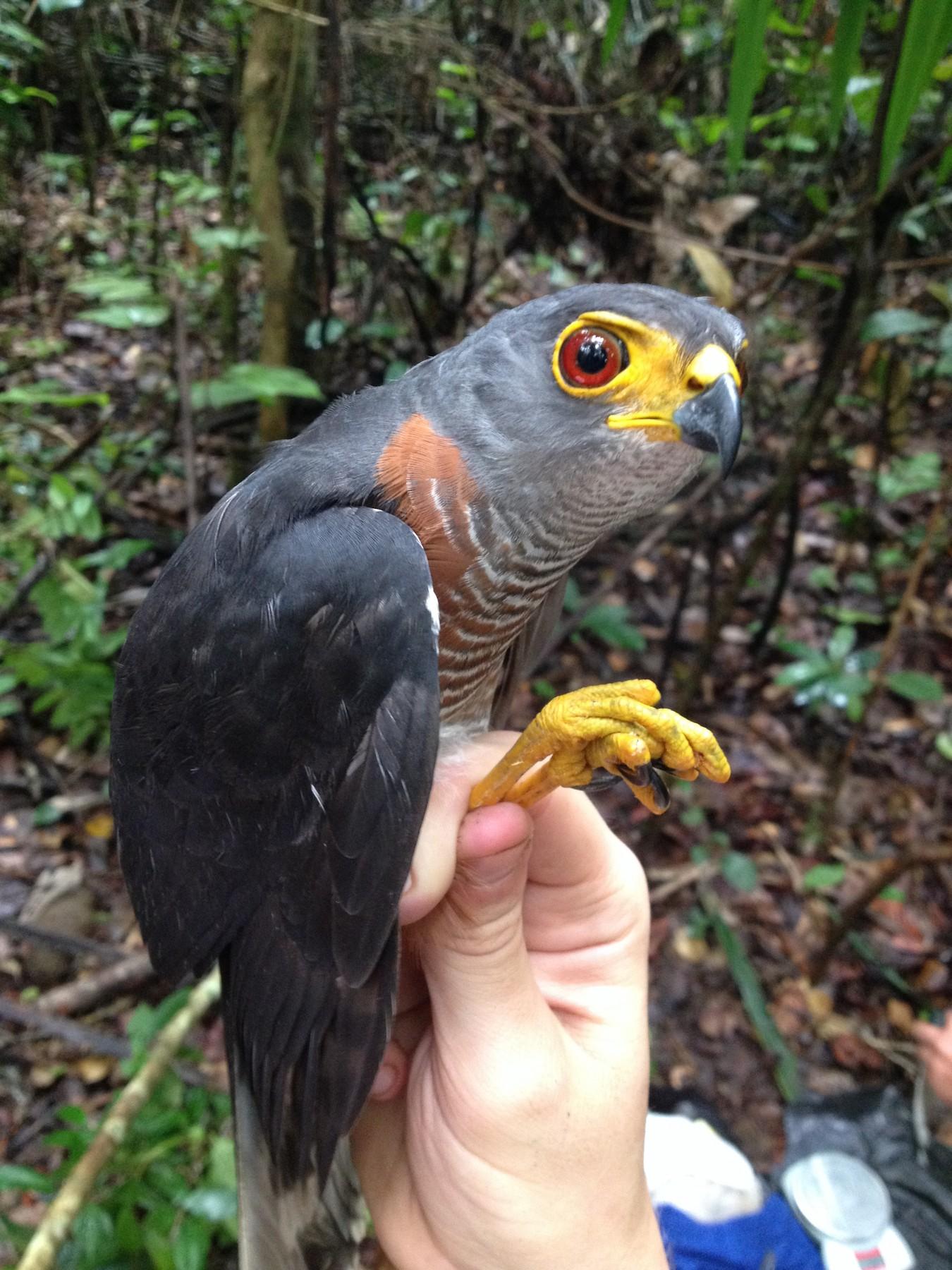 Chestnut-flanked Sparrowhawk - Jacob C. Cooper