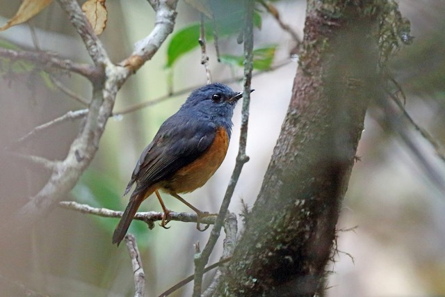 Forest Rock-Thrush (Forest)
