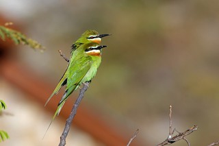 - Madagascar Bee-eater