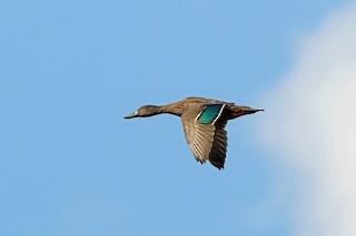 - Meller's Duck