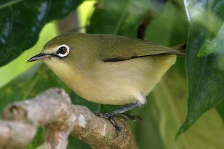- Bridled White-eye