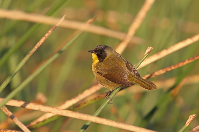 Black-polled Yellowthroat