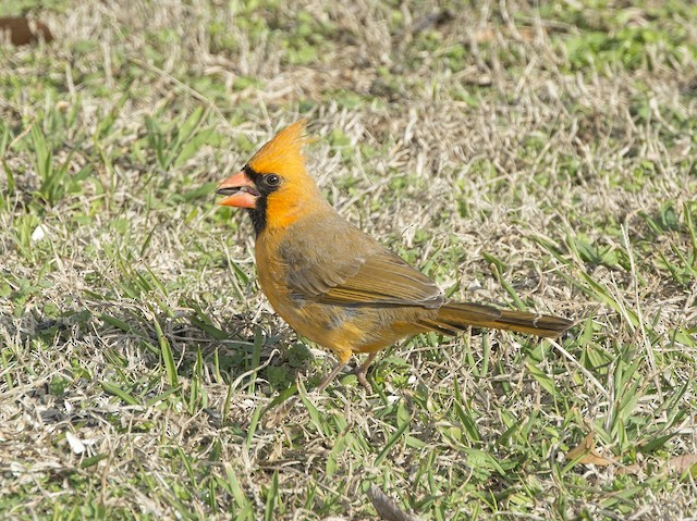 Male Northern Cardinal with aberrant plumage.