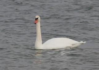 Mute Swan, ML46711511
