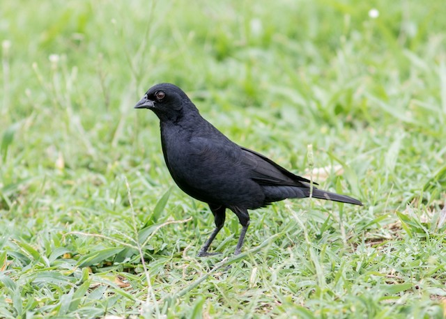 Screaming Cowbird