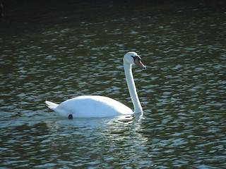 Mute Swan, ML46759401