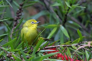 - African Yellow White-eye (Southern)