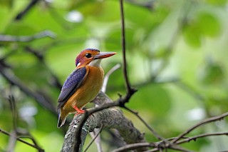 - African Pygmy-Kingfisher