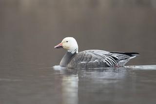 Snow Goose, ML46884951