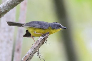 - Gray-and-gold Warbler