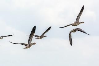 Graylag Goose, ML47048531