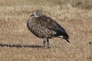 Blue-winged Goose, ML47053821