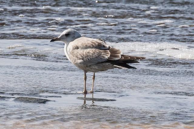 Mew Gull (Kamchatka)