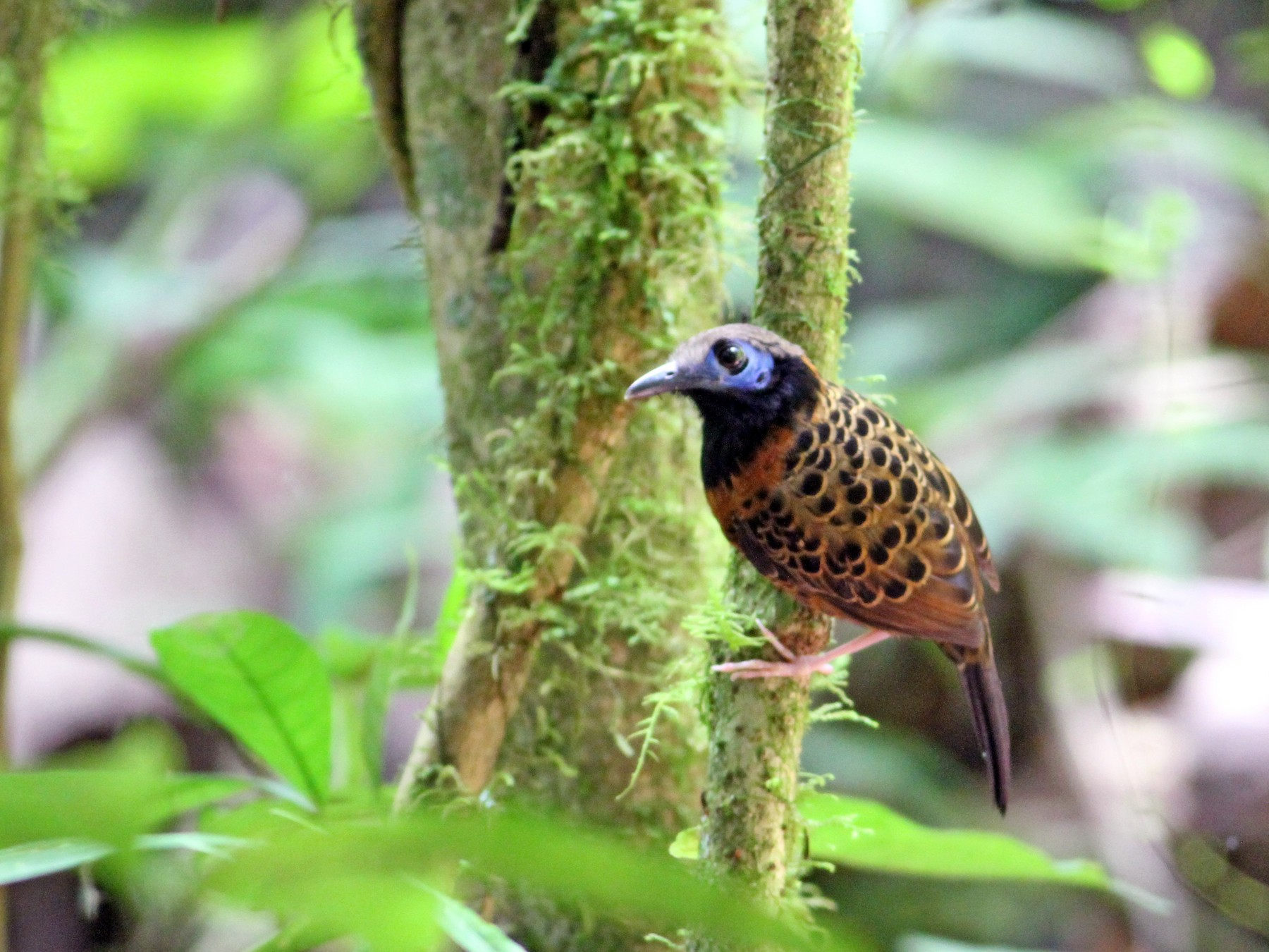 Ocellated Antbird - Georges Duriaux