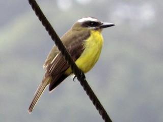 - Golden-bellied Flycatcher