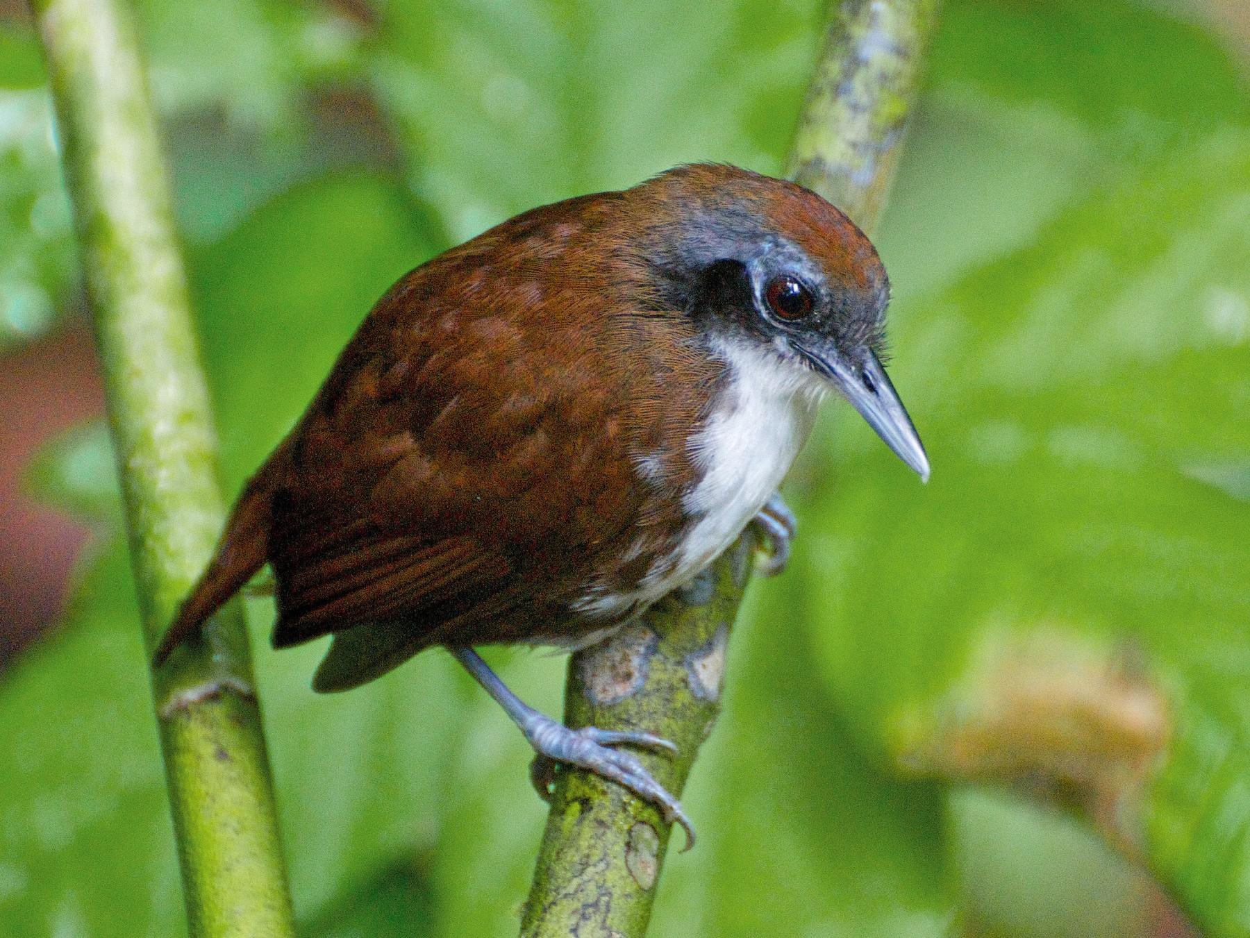 Bicolored Antbird - Christian  Nunes