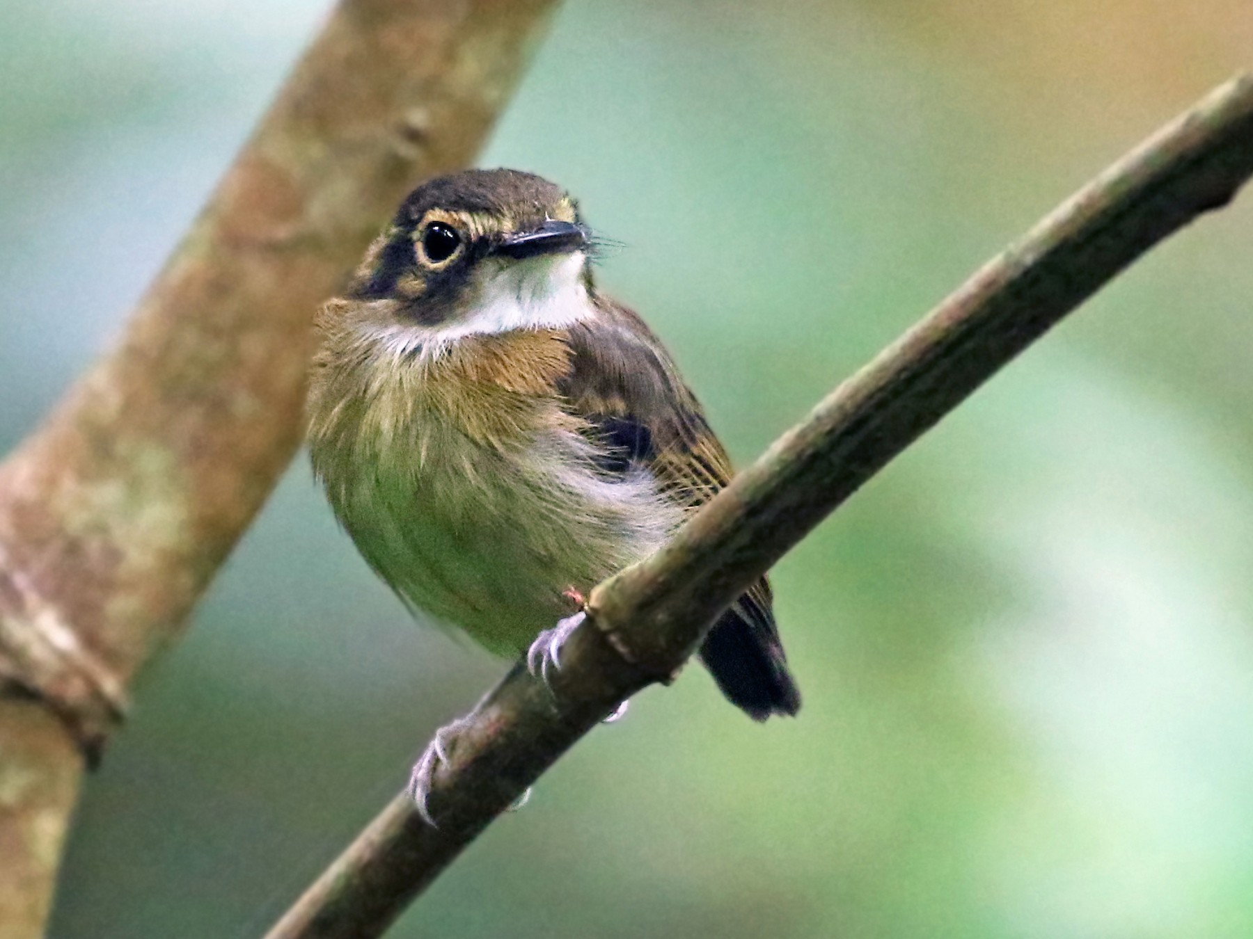 White-throated Spadebill - Andrew Spencer