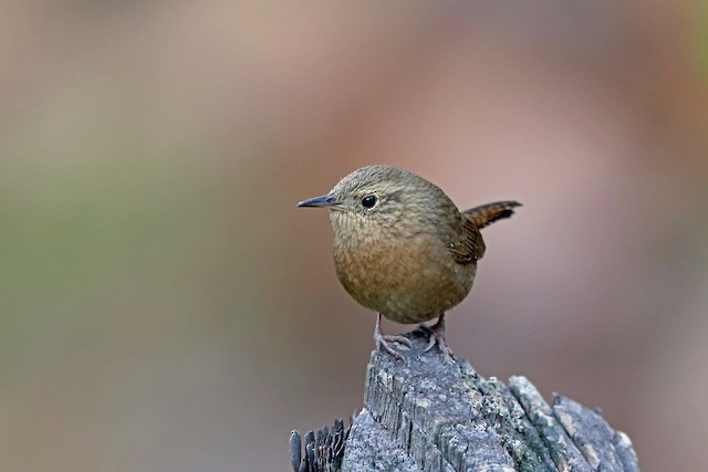 House Wren (Brown-throated)