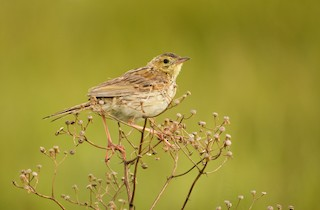 - Ochre-breasted Pipit