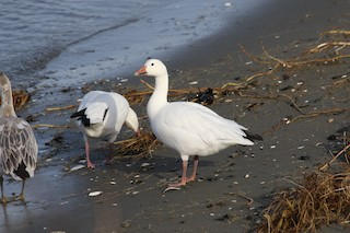 Snow Goose, ML47102791