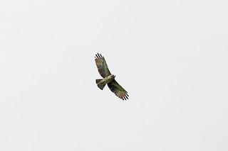 - Pygmy Eagle