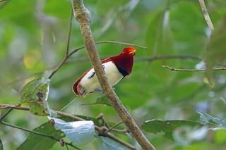 - King Bird-of-Paradise