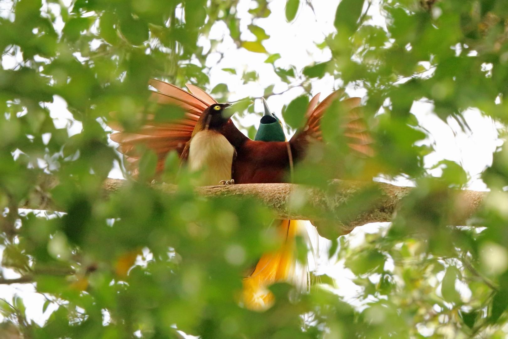 Lesser Bird-of-Paradise - Nigel Voaden