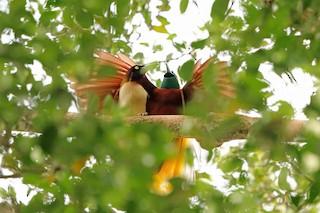 - Lesser Bird-of-Paradise