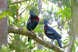 - Victoria Crowned-Pigeon