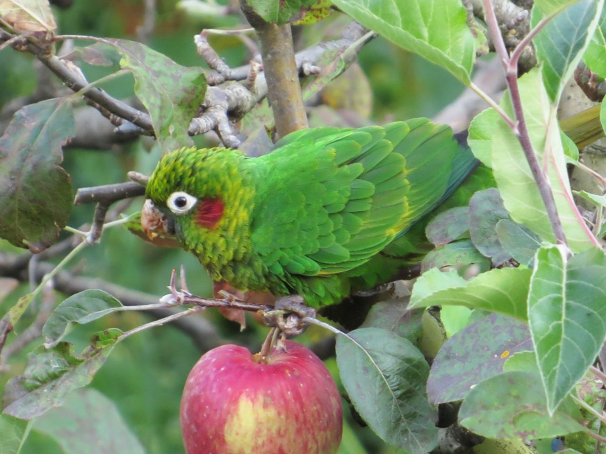 Sulphur-winged Parakeet - Warren Bielenberg