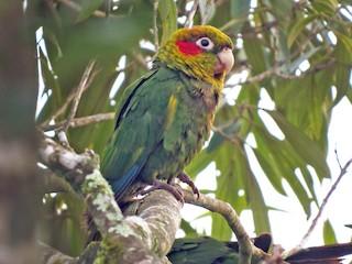 - Sulphur-winged Parakeet
